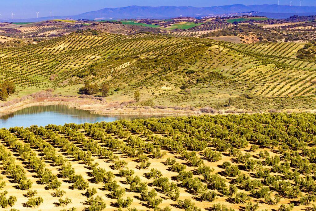 Plantar-chupones-de-olivo--cómo-realizarlo-1