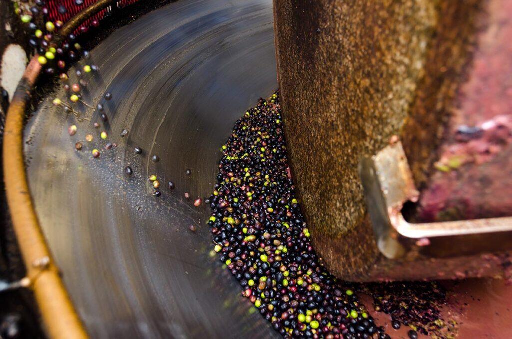 Plantar-chupones-de-olivo--cómo-realizarlo-