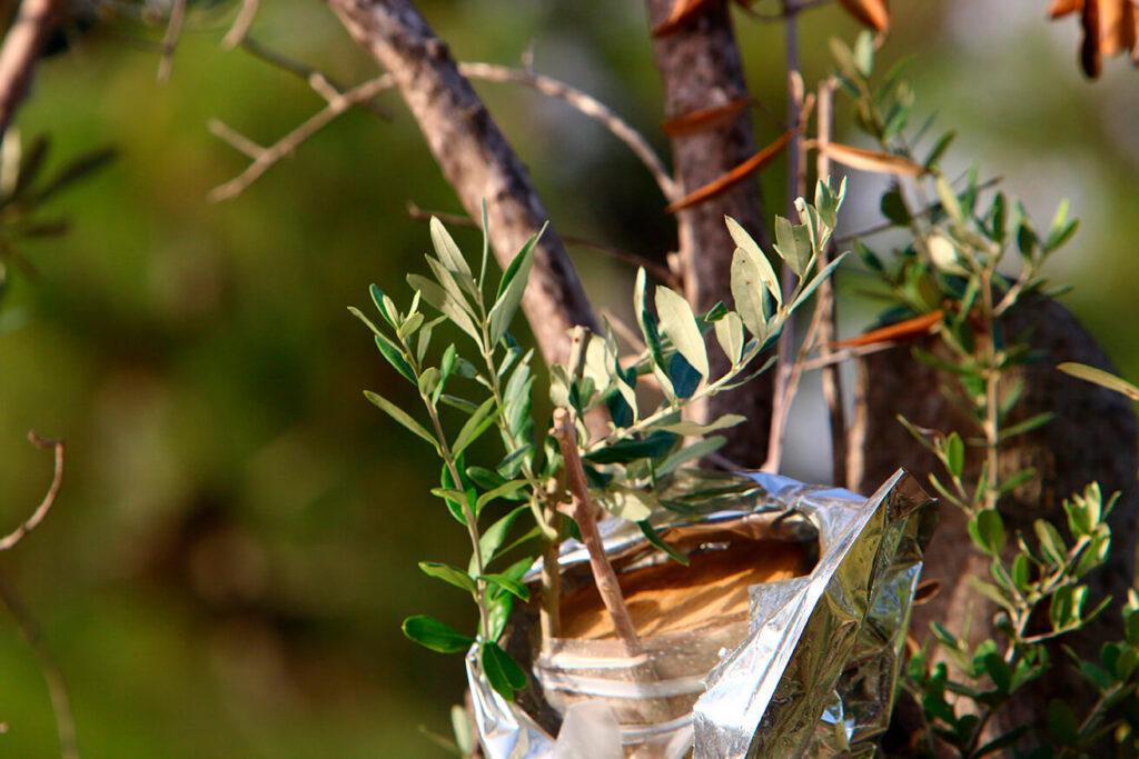 Cuál-es-la-distancia-para-plantar-olivos